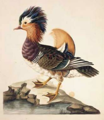 Mandarin Duck, 1788 by Sarah Stone